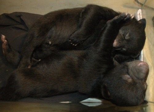Bear cubs Feb 11,2012