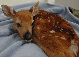 Four-day-old orphaned fawn.