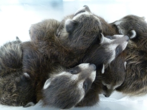 A litter of 4-week-old raccoon babies orphaned when their mom was live-trapped and relocated.