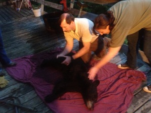 Mark does a quick exam on the tranquilized bear before transporting her.