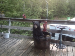 Bear trying to find refuge in a barrel used as a bird bath.