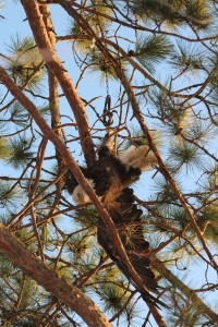 Not what comes to mind when you think of an eagle in a tree. (Photo courtesy of Camp Nicolet)