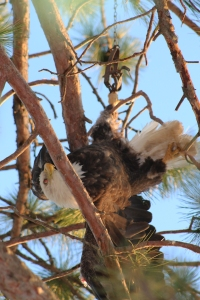 Eagle hanging upside down by its toe stuck in a leg-hold trap. (Photo courtesy of Camp Nicolet)